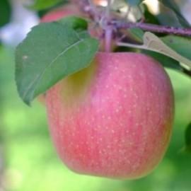 葉形の付いたりんご